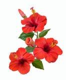Flores e botões vermelhos do hibiscus Fotografia de Stock