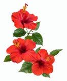 Flores e botões vermelhos do hibiscus Fotos de Stock