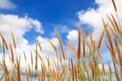 Flores e céu da grama Fotografia de Stock