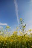 Flores e céu da mostarda Imagem de Stock Royalty Free
