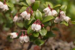 Flores e close up das airelas das folhas Imagens de Stock