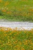 Flores e estrada de terra do cosmos Foto de Stock Royalty Free