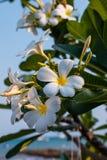 Flores e folhas brancas do Plumeria Foto de Stock Royalty Free