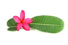 Flores e folhas cor-de-rosa do verde. Foto de Stock