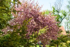Flores e folhas cor-de-rosa na árvore foto de stock