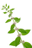 Flores e folhas da hortelã de milho fotos de stock royalty free
