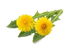 Flores e folhas do dente-de-leão foto de stock