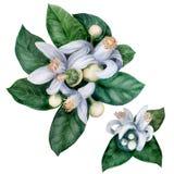 Flores e folhas do fruto de árvore alaranjada Bigaradiya do citrino plantas medicinais, da perfumaria e do cosmético watercolor Fotos de Stock Royalty Free