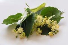 Flores e folhas do Linden Imagens de Stock