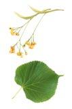 Flores e folhas do Linden Imagem de Stock Royalty Free