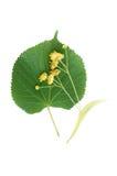 Flores e folhas do Linden Fotografia de Stock Royalty Free