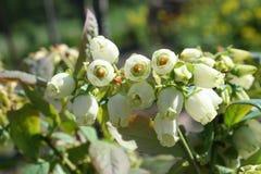 Flores e folhas do mirtilo em um ramo do arbusto Foto de Stock Royalty Free