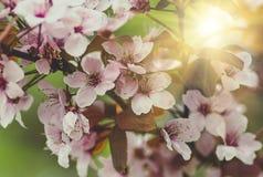 Flores e folhas novas da madeira sakura da cereja imagem de stock royalty free