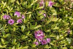 Flores e folhas roxas da planta do hebe imagem de stock royalty free