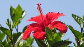 Flores e folhas vermelhas do verde no parque na primavera Fotos de Stock
