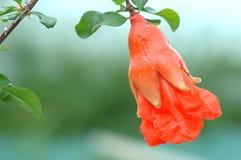 flores e fruto da romã Imagem de Stock Royalty Free