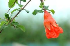 flores e fruto da romã Imagens de Stock Royalty Free