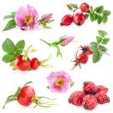 Flores e frutos dos quadris de Rosa fotos de stock