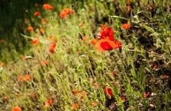 Flores e grama da papoila fotografia de stock