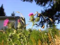 Flores e grama do cardo Imagem de Stock Royalty Free