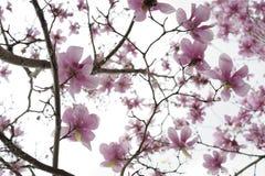 Flores e membros japoneses da magnólia Imagem de Stock Royalty Free