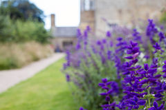 Flores e o trajeto do jardim Salvias foto de stock