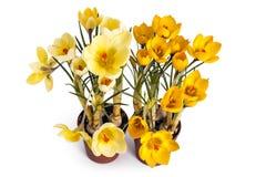 Flores e plântulas do açafrão Foto de Stock