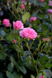 FLORES E PLANTAS DE ROSA imagens de stock royalty free