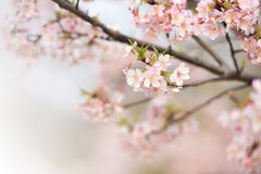Flores e ramo da cereja Fotografia de Stock Royalty Free
