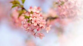 Flores e ramo da cereja Imagens de Stock Royalty Free