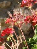 Flores e sementes secadas do gerânio comum fotografia de stock royalty free