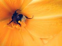Flores e tavão amarelos, abelha imagens de stock