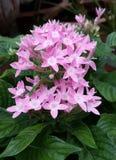 Flores egípcias da estrela Imagens de Stock