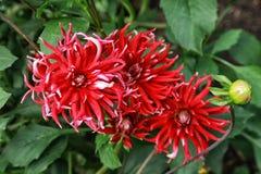 Flores elegantes de la botarga tres del cierre rojo de la dalia para arriba en el jardín Imagen de archivo
