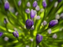 Flores em botão Imagens de Stock
