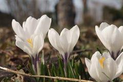 Flores em botão brancas do açafrão no jardim Foto de Stock Royalty Free