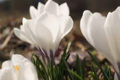 Flores em botão brancas do açafrão no jardim Imagem de Stock