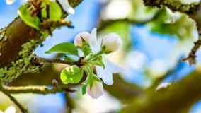 Flores em botão branco com toques cor-de-rosa no ramo de árvore da maçã com um fundo borrado fotografia de stock royalty free
