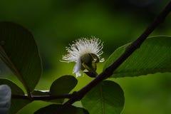 Flores em botão branco da goiaba imagem de stock royalty free