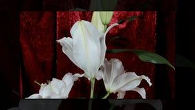 Flores em botão coloridas de florescência, metragem do timelapse Feche acima, macro filme