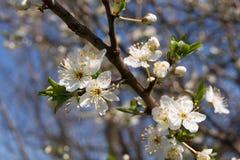 Flores em botão da ameixoeira-brava Imagem de Stock Royalty Free