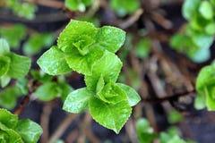 Flores em botão da hortênsia na mola, Imagem de Stock Royalty Free