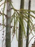 Flores em botão da palmeira em um ângulo fotografia de stock