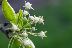 Flores em botão das peras Fotografia de Stock Royalty Free