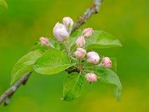 Flores em botão de árvore de Apple imediatamente antes da florescência Imagem de Stock