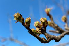 Flores em botão de árvore de pera no fundo do céu azul Fotografia de Stock Royalty Free