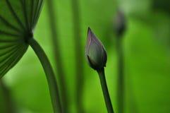 Flores em botão de Lotus Imagem de Stock Royalty Free