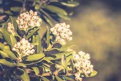 Flores em botão de Pohutukawa aproximadamente a abrir Foto de Stock Royalty Free