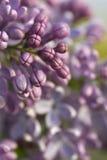 Flores em botão do Lilac Fotografia de Stock Royalty Free