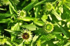 Flores em botão do purpurea do Echinacea Fotografia de Stock